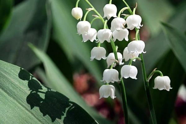 La ville du Cannet apporte son soutien aux fleuristes en achetant des brins pour les EHPAD.