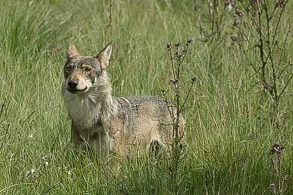 Plateau d'Aubrac - le loup de Lozère - 2014.