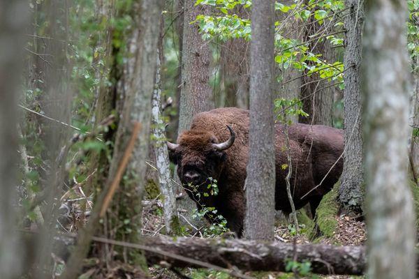 Pris dans la forêt de Bialowieza en Pologne, le bison est l'animal emblématique d'une forêt primaire de plaine. En Europe, 2 000 bisons vivent à l'état sauvage.