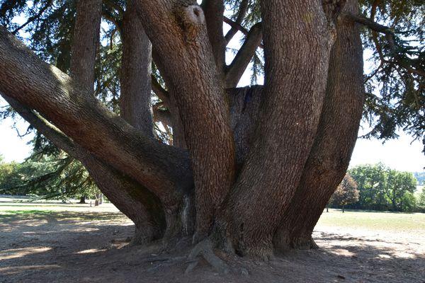 Le Cèdre de l'Atlas de Ligugé présente la circonférence la plus large des arbres du département, avec ses 9,5 mètres.
