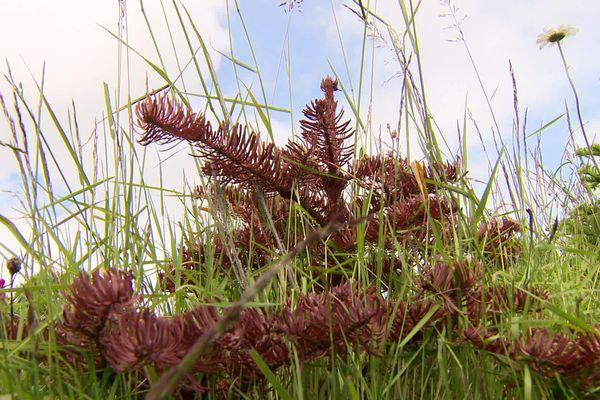 Même à 1200m d'altitude, il devient difficile de faire pousser des sapins dans les Monts du Pilat. La faute au changement climatique. Saint-Régis-du-Coin, Loire, juin 2020.