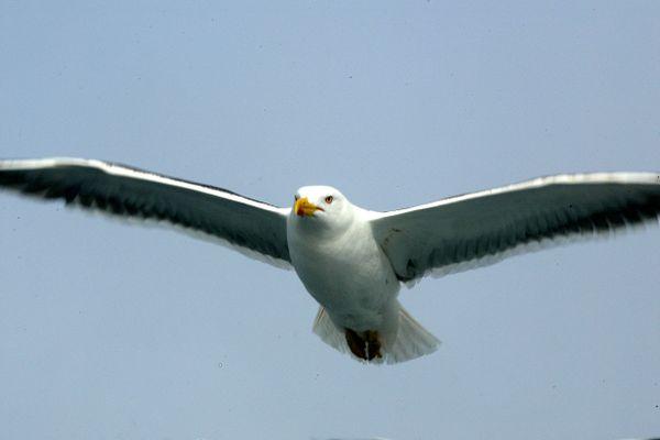 Boulogne-sur-mer relance sa campagne contre la prolifération des nids de goéland en centre-ville.