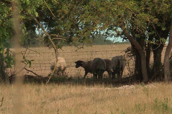 En novembre 2019, dans le pays de Bray, des brebis de ce troupeau avaient été attaquées à plusieurs reprises par un loup.
