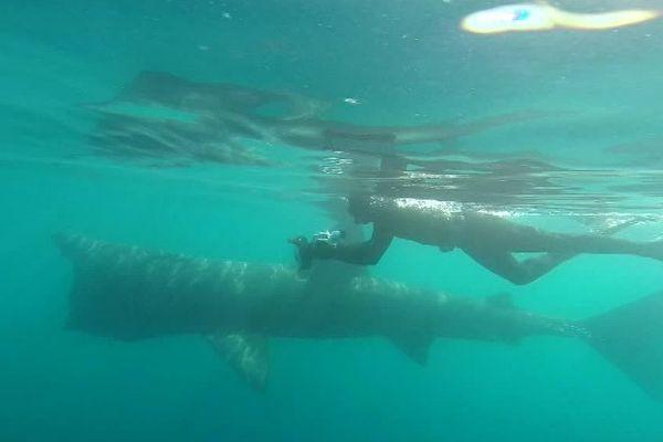 Un requin pèlerin suivi par un plongeur, au large de Saint-Cyprien, dans les Pyrénées-Orientales - 13 avril 2017.
