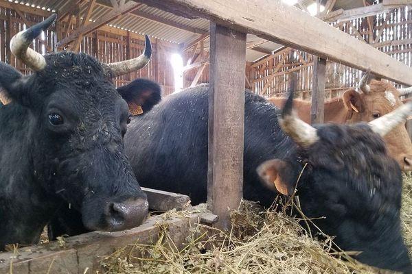 Les vaches canadiennes à l'étable