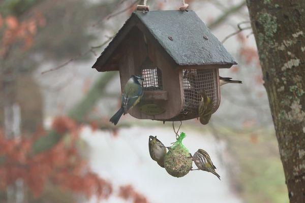 La mangeoire est l'endroit idéal pour compter les oiseaux en hiver