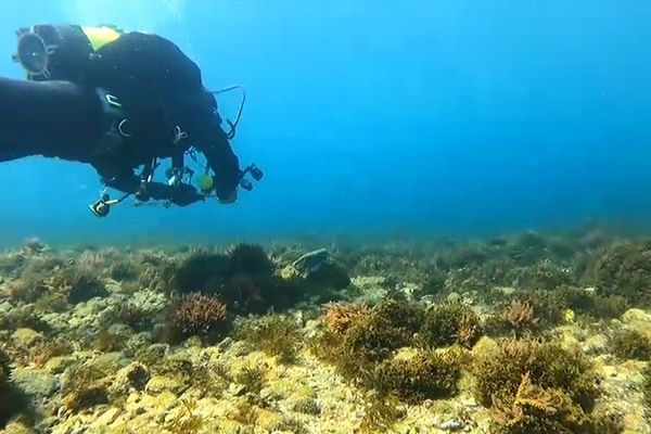 Les plongeurs de la calanque de Callelongue ont commencé à observer cette espèce invasive dès l'année 2019