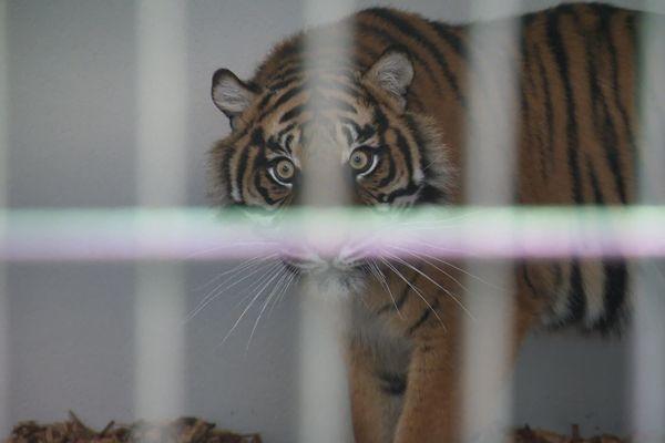 Un tigre de Sumatra, est arrivée ce mardi 19 novembre 2019 au zoo d'Amiens. Elle s'appelle Menya, elle a trois ans.