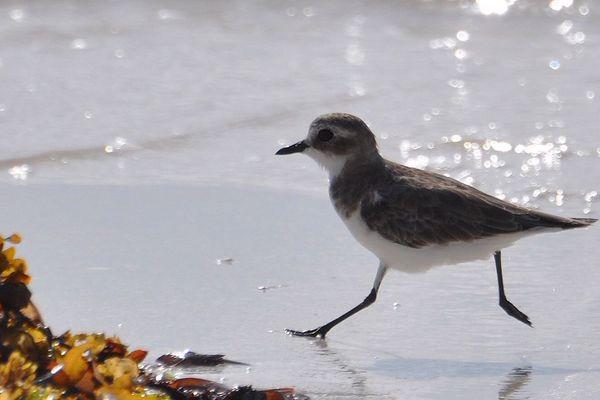 Le minuscule gravelot à collier interrompu fait son nid en haut de plage et est donc vulnérable