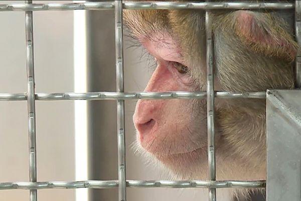 Une dizaine de singes issus de laboratoires ont été accueillis dans un refuge près de Chartres.