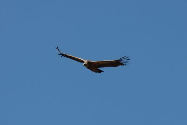 Cinq vautours fauves auraient attaqué une brebis à Peyrelevade, en Corrèze.