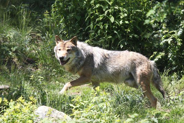Le pourcentage de loups pouvant être tués était fixé à 10 % de la population estimée de loups en France. Cette part sera de 17 à 19% dans le nouveau plan loup annoncé ce mardi 28 mai.