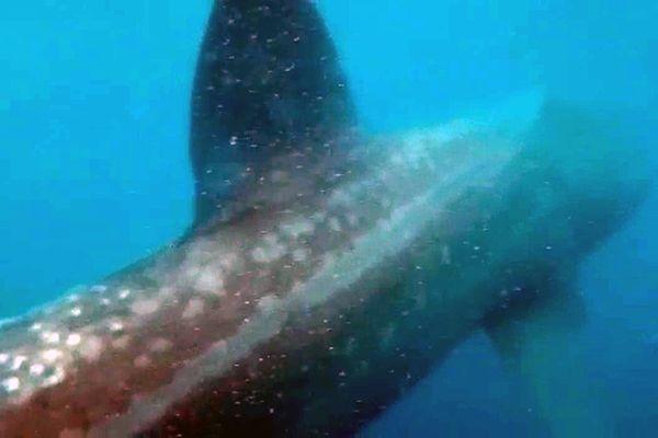 Trois pêcheurs Magid, Mathieu et Georges ont filmé dimanche 2 mai 2021, un requin pèlerin d'une dizaine de mètres de long à 1 km des côtes entre Collioure et Argelès-sur-Mer dans les Pyrénées-Orientales.