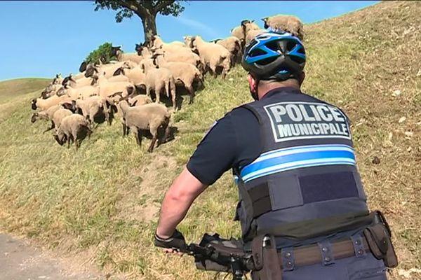 Mini transhumance à Toul ce jeudi 23 mai. Pendant près de huit mois, des moutons vont entretenir les espaces verts de la ville.