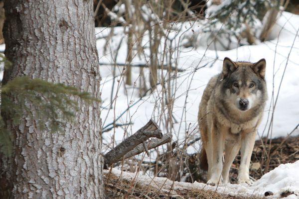 Le loup au Boréon.