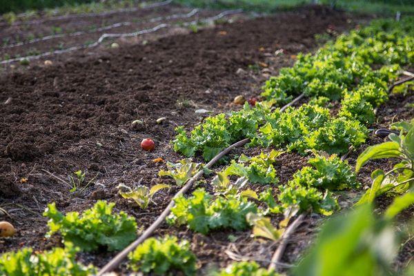 La régie agricole de Mouans-Sartoux et ses salades