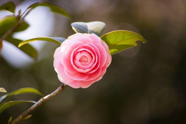 Camélia en fleur...