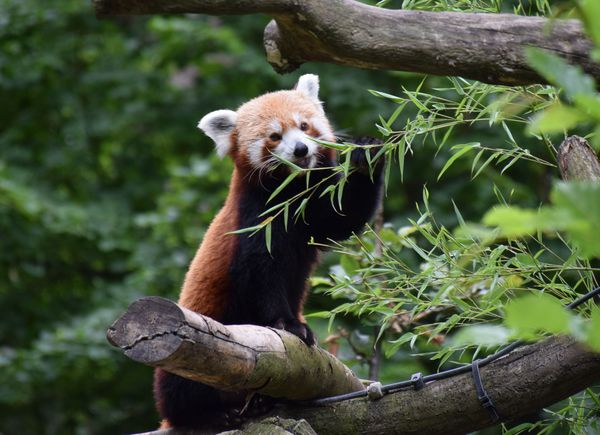 Chaya, la maman du bébé panda roux