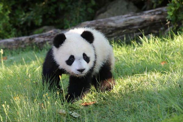 Le bébé panda yuan Meng - Photo publiée le 4 juillet 2018