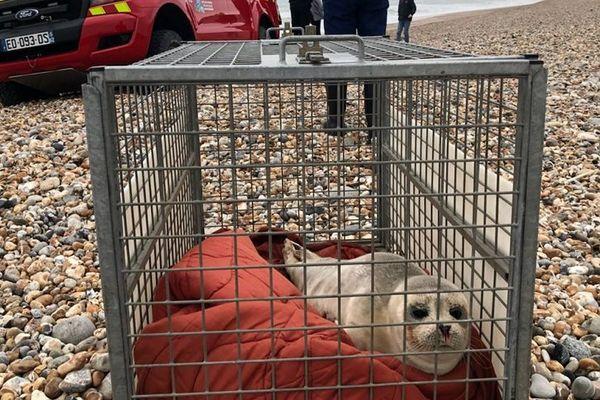 Des phoques s'échouent régulièrement sur les plages de la Manche