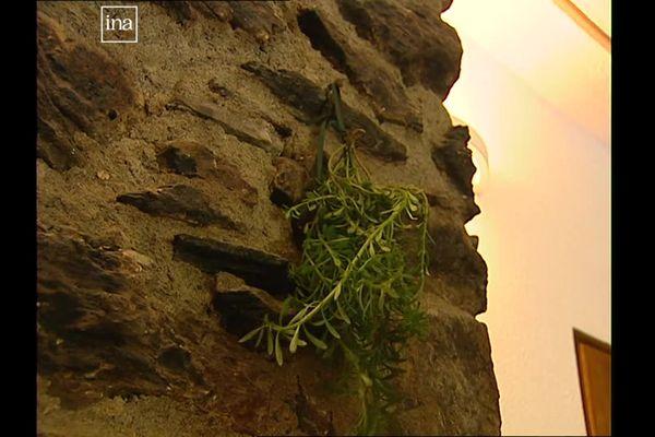 L'herbe de l'ascension doit être suspendue à un mur, la tête vers le bas.