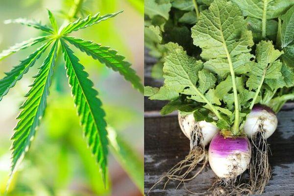 Cannabis vs navet : la gendarmerie de Dordogne encourage plutôt la culture de cette deuxième variété