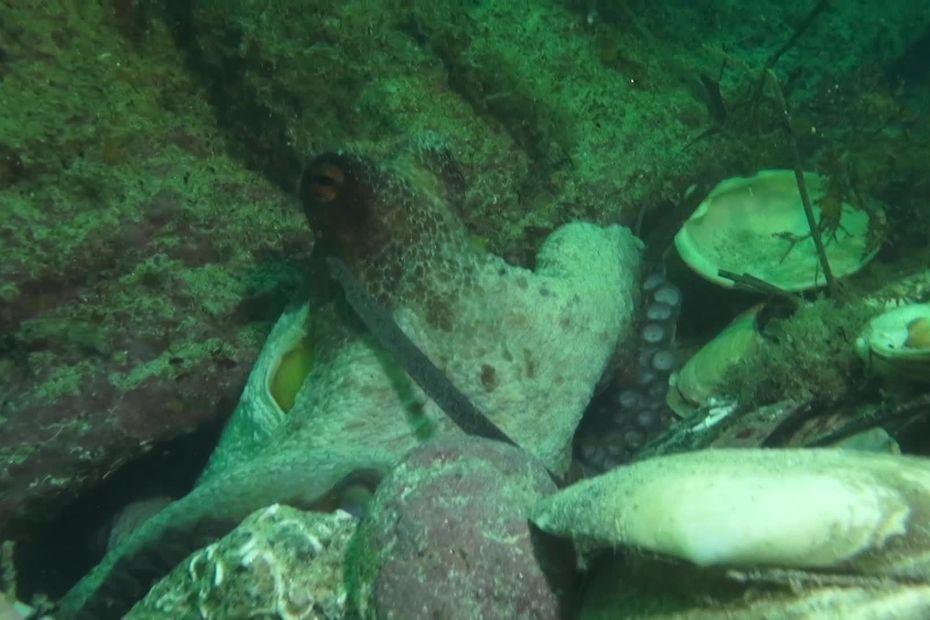 Invasion de poulpes : comment la science explique ce phénomène ? Nous avons interrogé Julien Dubreuil, biologi