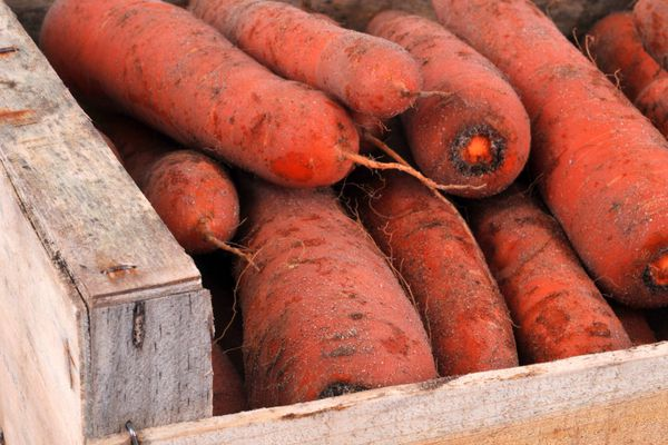 La carotte des sables est l'un des produits phares du Cotentin