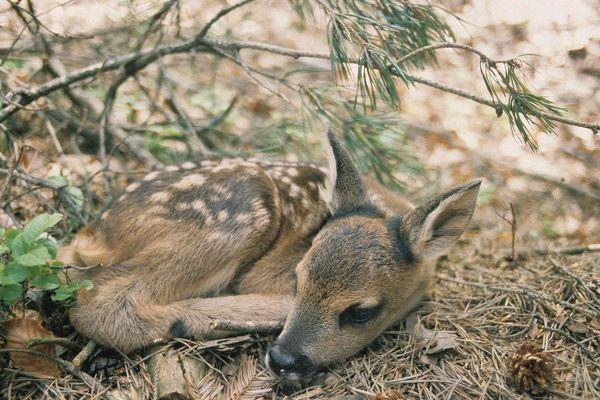 Ce jeune faon, se repose à même le sol. Toute approche humaine ou d'un animal domestique peut le condamner.