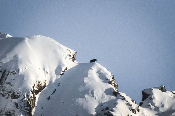 L'ours qui marche sur la crête.