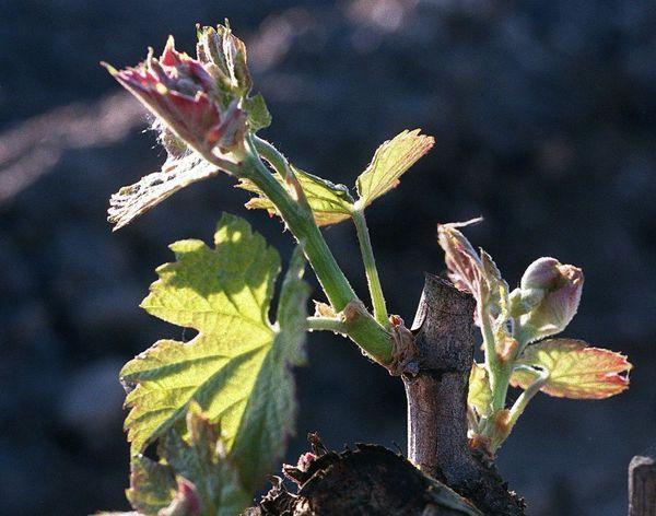 Un bourgeon de vigne