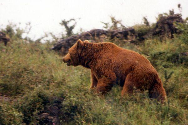 Photo d'archives, décembre 2003 ours Boutxy dans le massif de la Haute-Ariège