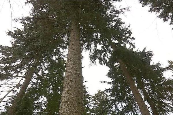 Le sapin président de la forêt de la Grande Chartreuse