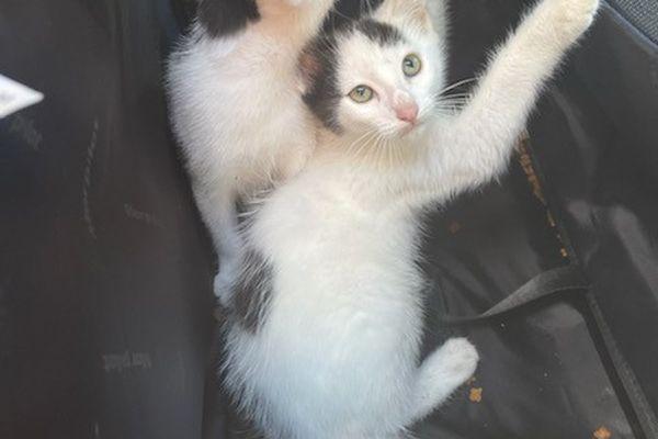 Deux adorables chatons découvert dans une poubelle à la déchetterie de Villenave-d'Ornon, près de Bordeaux ce 28 juillet 21.