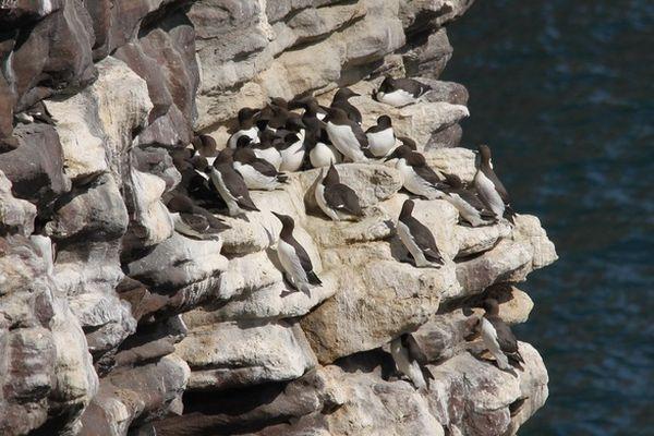 Les guillemots de Troïl remontent vers le nord de l'Europe, en France essentiellement en Bretagne, pour la période de nidification.