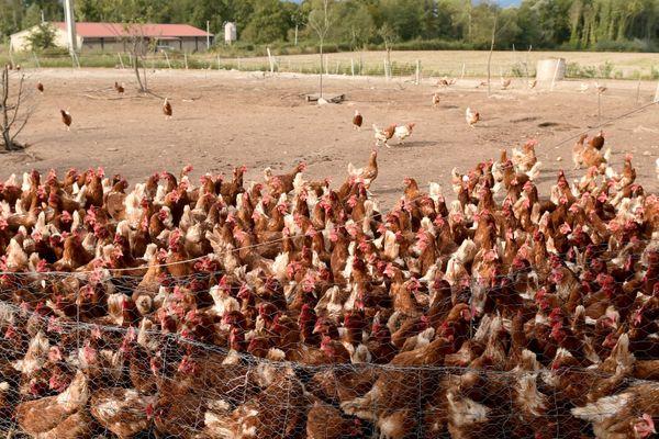 Les éleveurs vont devoir mettre en place des filets pour protéger les volailles.