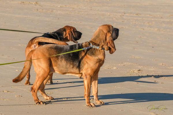 Happle et Crokdur, deux chiennes de Saint-Hubert dressées pour la recherche de personnes disparues.