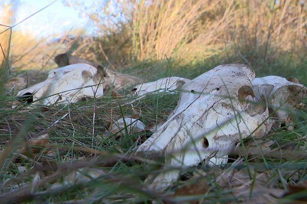 Terrats (Pyrénées-Orientales) - un charnier de sangliers et des crânes découverts en bordure de forêt - 24 novembre 2020.