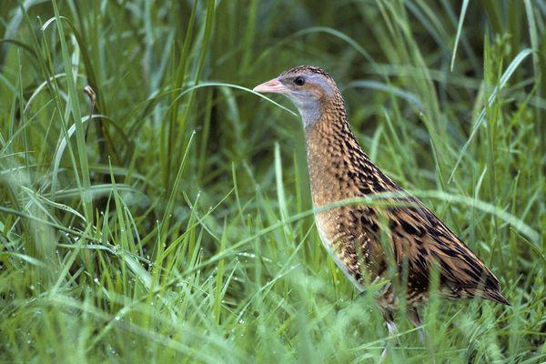 Le rale des gênets est un oiseau qui niche au sol, dans les zones de prairies humides