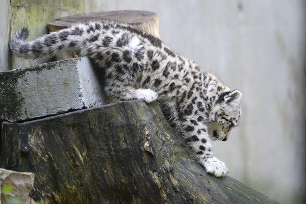 Un bébé léopard des neiges au zoo de Mulhouse en 2017.