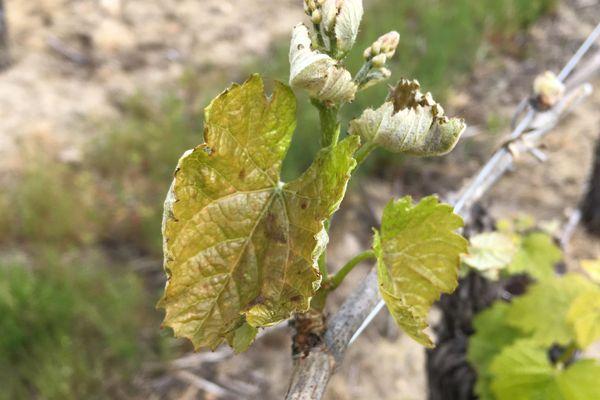 L'effet d'une gelée sur les jeunes pousses de raisin : les feuilles sont jaunies, translucides par endroits.