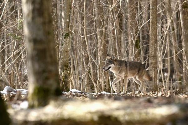 Un loup gris dans le secteur de Bialowieza en Pologne.