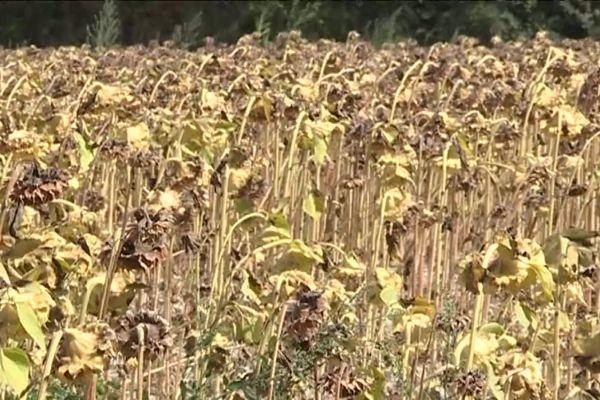 Les plantes, asséchées par le manque d'eau, ont privé les abeilles de pollen.
