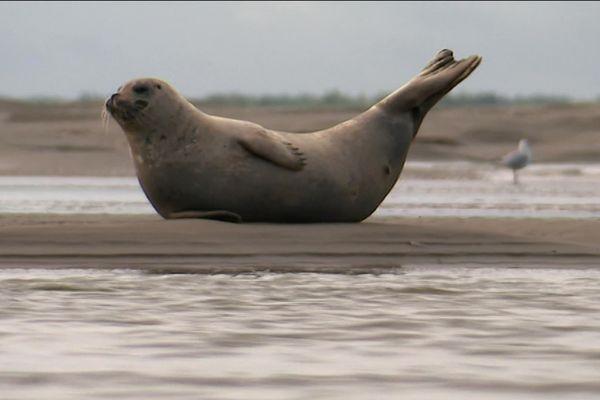 Les phoques viennent s'échouer sur les plages et attendent que la marée remonte.