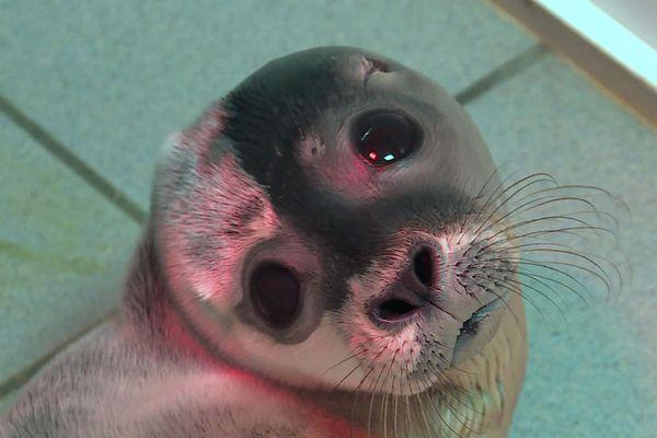 Juillet 2020- Un des bébés phoques en danger recueillis au refuge Le CHENE d'Allouville-Bellefosse (Seine-Maritime)
