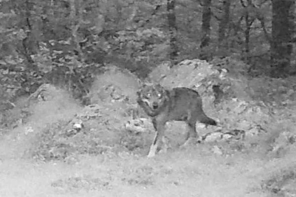 Une photo de loup prise en juillet dans la vallée d'Ossau.