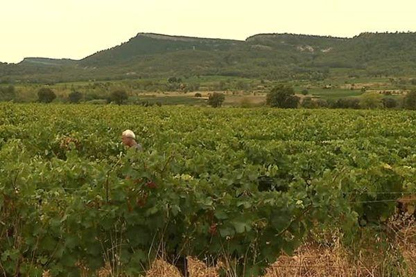 Les vignes devraient produire 20 à 30% de moins cette année.