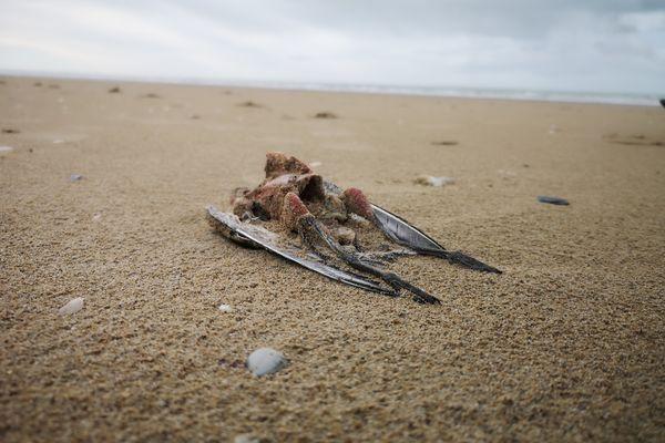 un cadavre de bécasseau trouvé sur la plage de Saint-Pair sur Mer