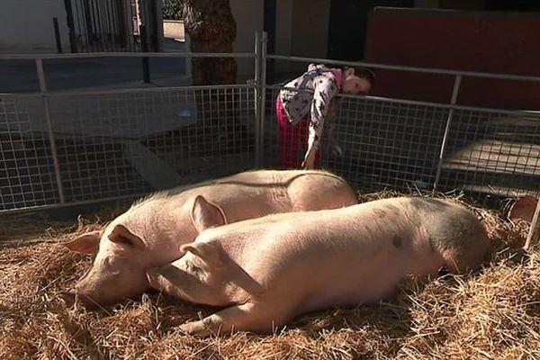 Le syndicat des producteurs de porcs fermiers dans les Pyrénées-Orientales développe la filière porcine en plein air - mars 2017