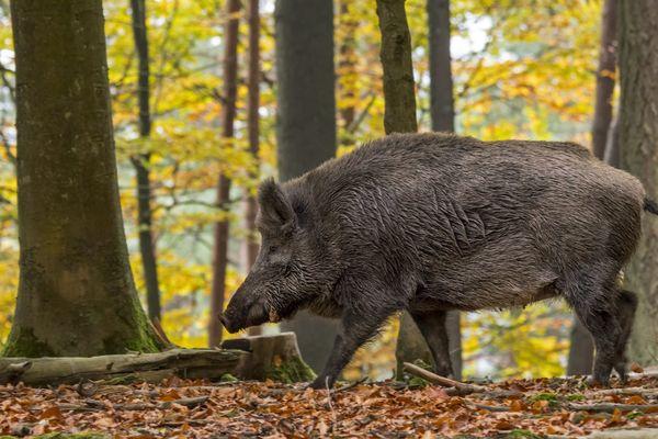 Un sanglier peut peser jusqu'à 200 kilos et développer une force considérable. Mais habituellement, le sanglier n'attaque que s'il doit défendre sa progéniture, où s'il se sent menacé lorsqu'il est blessé.